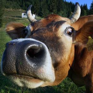 Áudio Clássico da Vaca Louca
