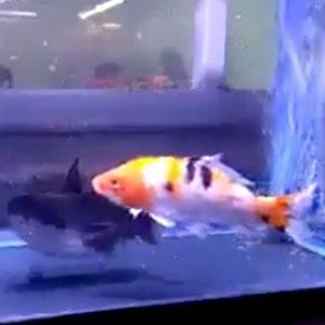 Vendo peixinho manso